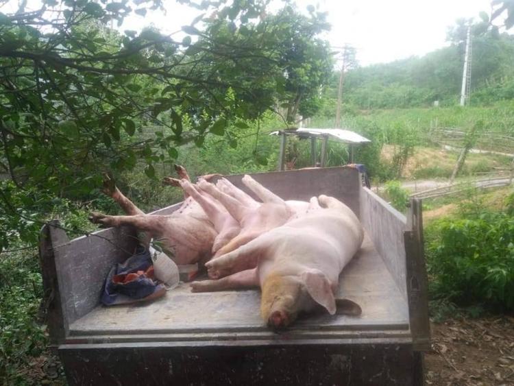 Quảng Bình: Xuất hiện ổ dịch tả lợn châu Phi ở huyện Minh Hóa