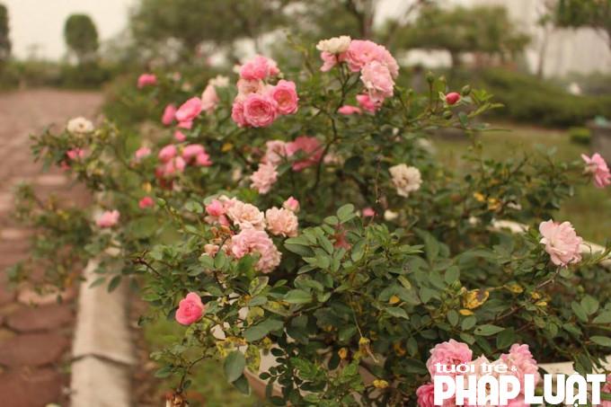 Hoa hồng quý với 45 năm tuổi được trồng trong công viên Rosa Park nơi diễn ra lễ hội hoa.