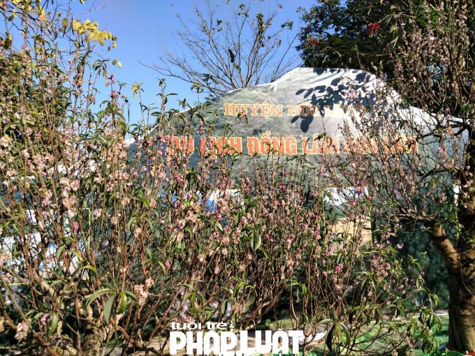 Toàn bộ hoa đào ở đây đã héo rũ, khô quắt.