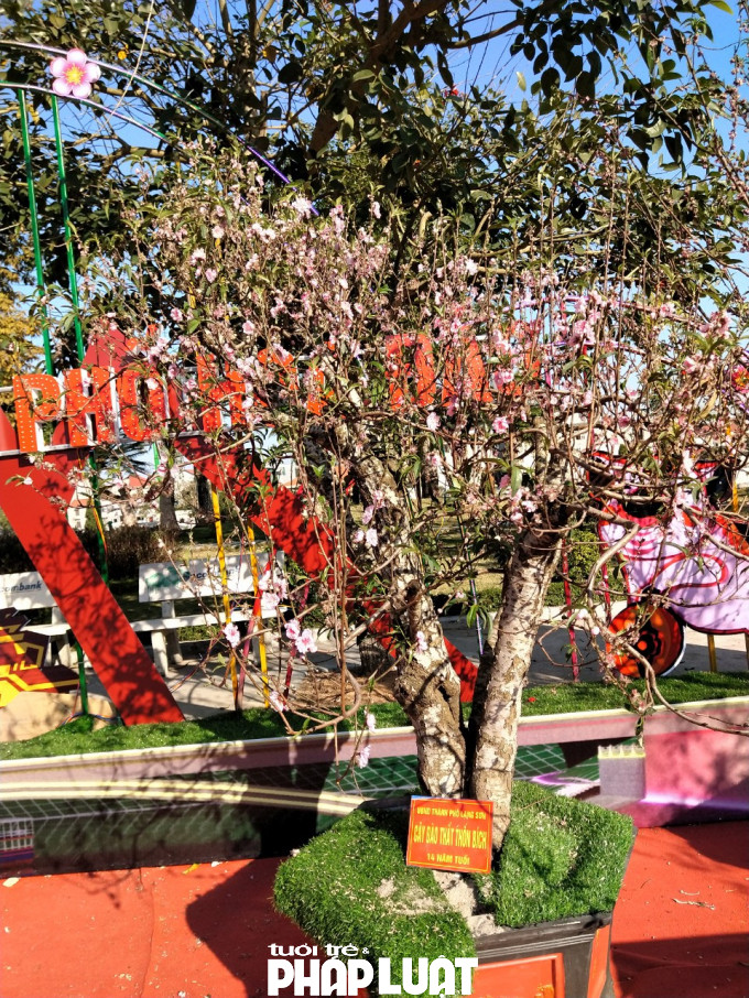Một cây đào quý 14 năm tuổi bắt đầu héo, hoa đã khô kiệt