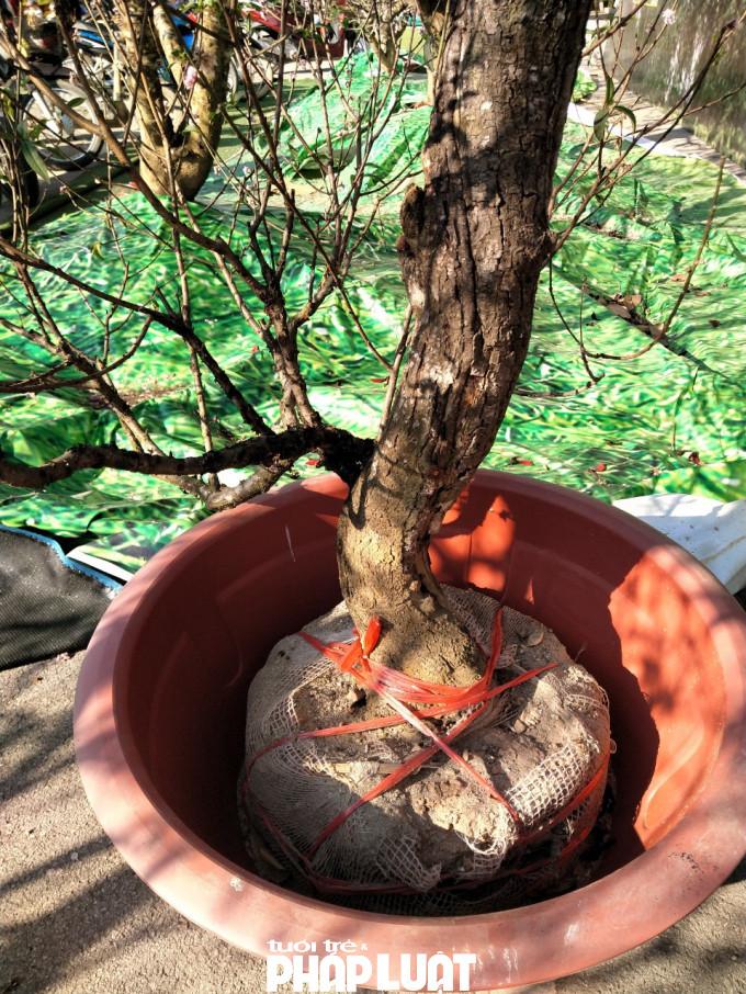 Cây đào trị giá hàng trăm triệu đồng chỉ được đặt vào chậu rồi phủ tấm nilon giả cỏ lên che kín.