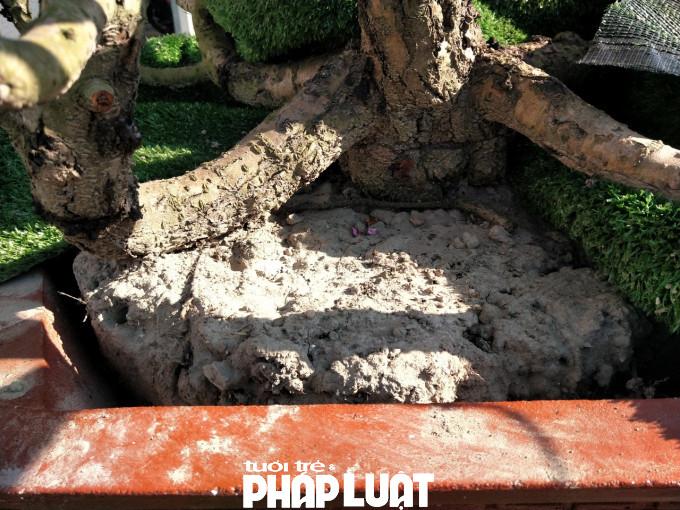 Một gốc đào quý đã 15 năm tuổi dường như đã chết sau nhiều ngày chống chọi với cái nắng mà không được tưới.