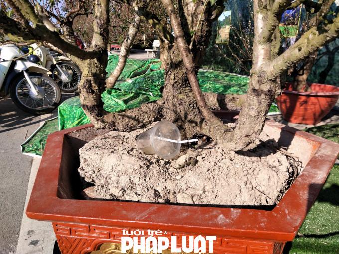 Thậm chí chậu trồng đào cũng đã trở thành nơi vứt rác