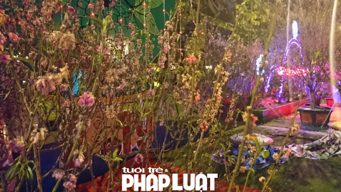 hoa Đào héo rũ từ mùng 2 Tết