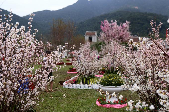 Đây là năm thứ 7 liên tiếp tỉnh Quảng Ninh phối hợp cùng với Hiệp hội Văn hóa quốc tế Nhật Bản tổ chức Lễ hội hoa Anh Đào.