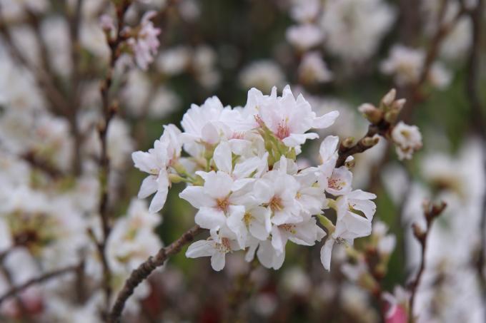 5.000 cành hoa Anh đào đến từ đất nước Nhật Bản và 200 cây mai vàng Yên Tử được ban tổ chức trưng bày trong những ngày diễn ra lễ hội.