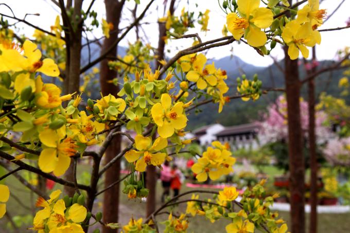 Lễ hội hoa Anh Đào - Mai vàng Yên Tử năm 2019 sẽ kéo dài đến hết ngày 17/3/2019.