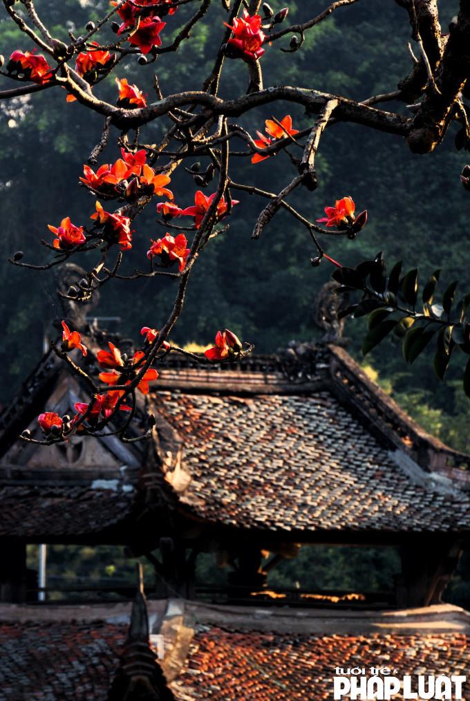 Bông hoa Gạo to, đỏ rực gắn với hình ảnh Chùa Thầy được nhiều tay máy đặc tả qua các tác phẩm nhiếp ảnh