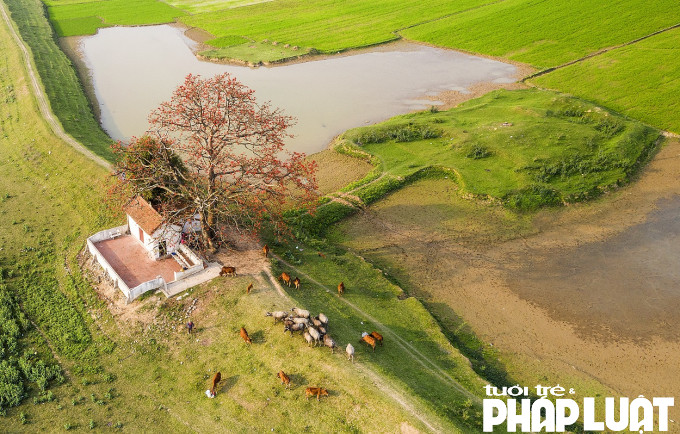 Cây hoa Gạo hoàn thiện cho bức tranh thanh bình của làng quê Việt Nam