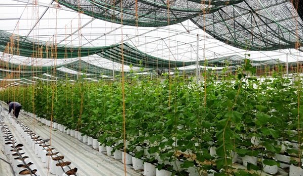 Mô hình trồng rau sạch công nghệ cao của Trần Duy Trung ở Nghệ An.