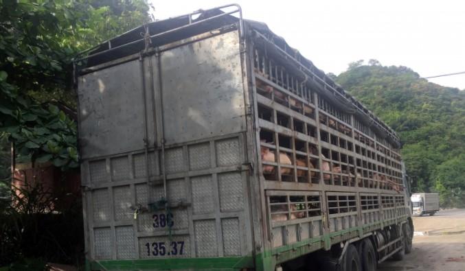 Thanh Hóa: Bắt 1 xe tải chở 240 con lợn bị nhiễm dịch tả lợn châu phi