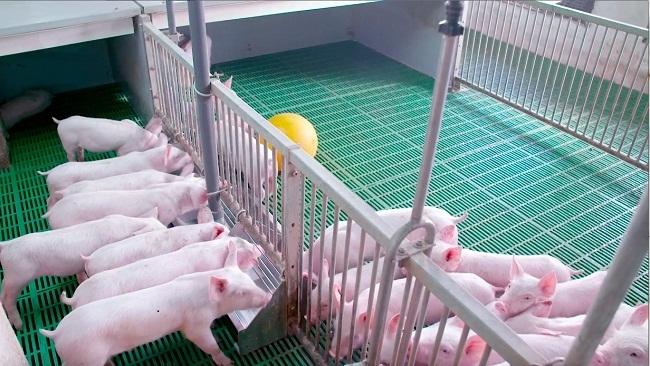 """Thanh Hóa sắp có siêu dự án """"chăn nuôi lợn"""" với tổng vốn đầu tư khoảng 2.500 tỷ"""