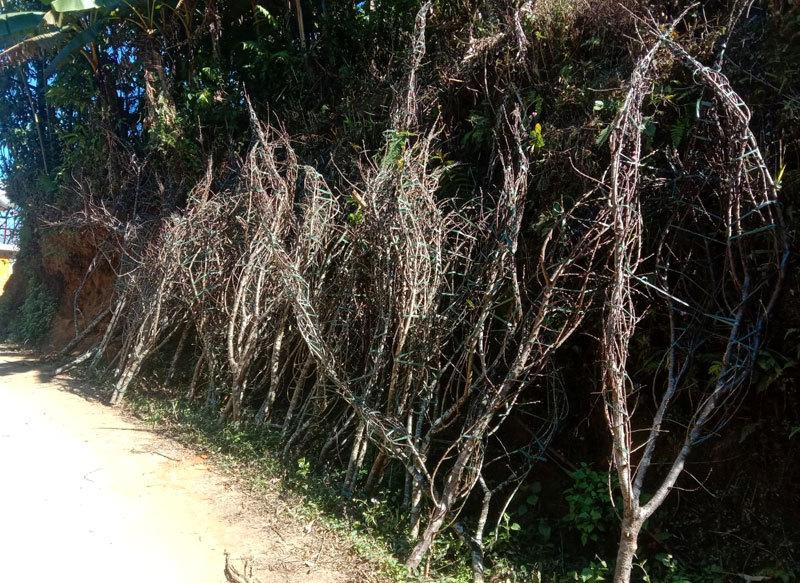 Dân buôn tiết lộ mùa Tết bán 800 cành đào rừng