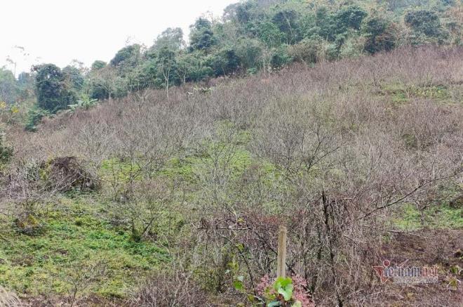 Cấm chặt đào rừng chơi Tết: Sơn La dán tem đào vườn dân trồng - 1