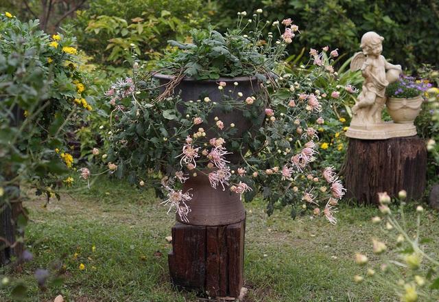 Mãn nhãn với vườn cúc cổ, đẹp mê hồn giữa lòng Hà Nội - 8