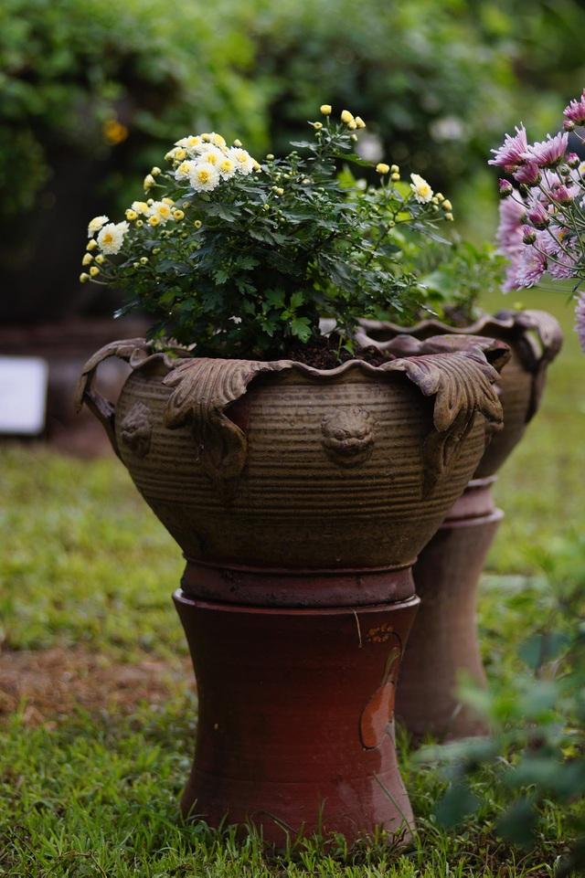 Mãn nhãn với vườn cúc cổ, đẹp mê hồn giữa lòng Hà Nội - 6