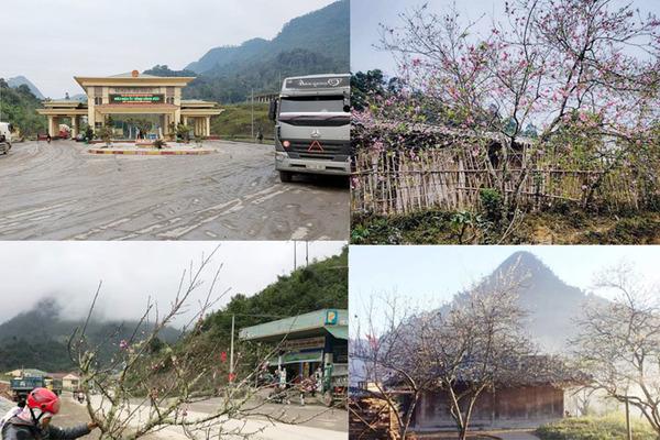 Không cấm đào ngoại về Việt Nam qua cửa khẩu ở Nghệ An