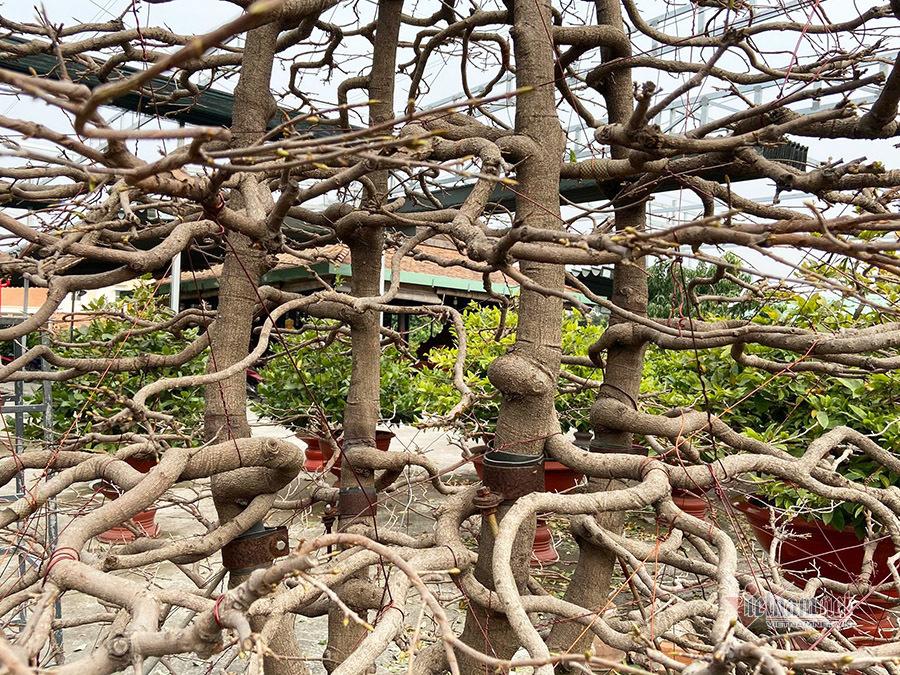 Người Sài Gòn chi 100 triệu thuê cây mai hơn 80 tuổi về chơi Tết
