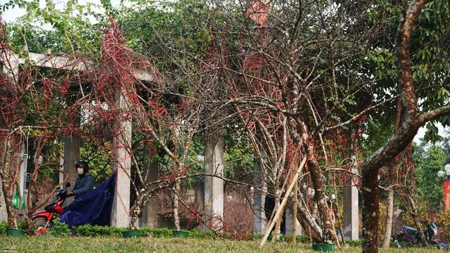 Những cành đào rừng dán tem đầu tiên xuất hiện ở Hà Nội - 8