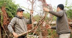 Những cành đào rừng dán tem đầu tiên xuất hiện ở Hà Nội