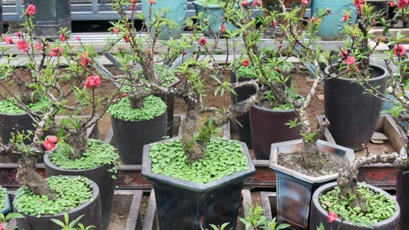 Đào quý người trồng chỉ cho thuê không muốn bán