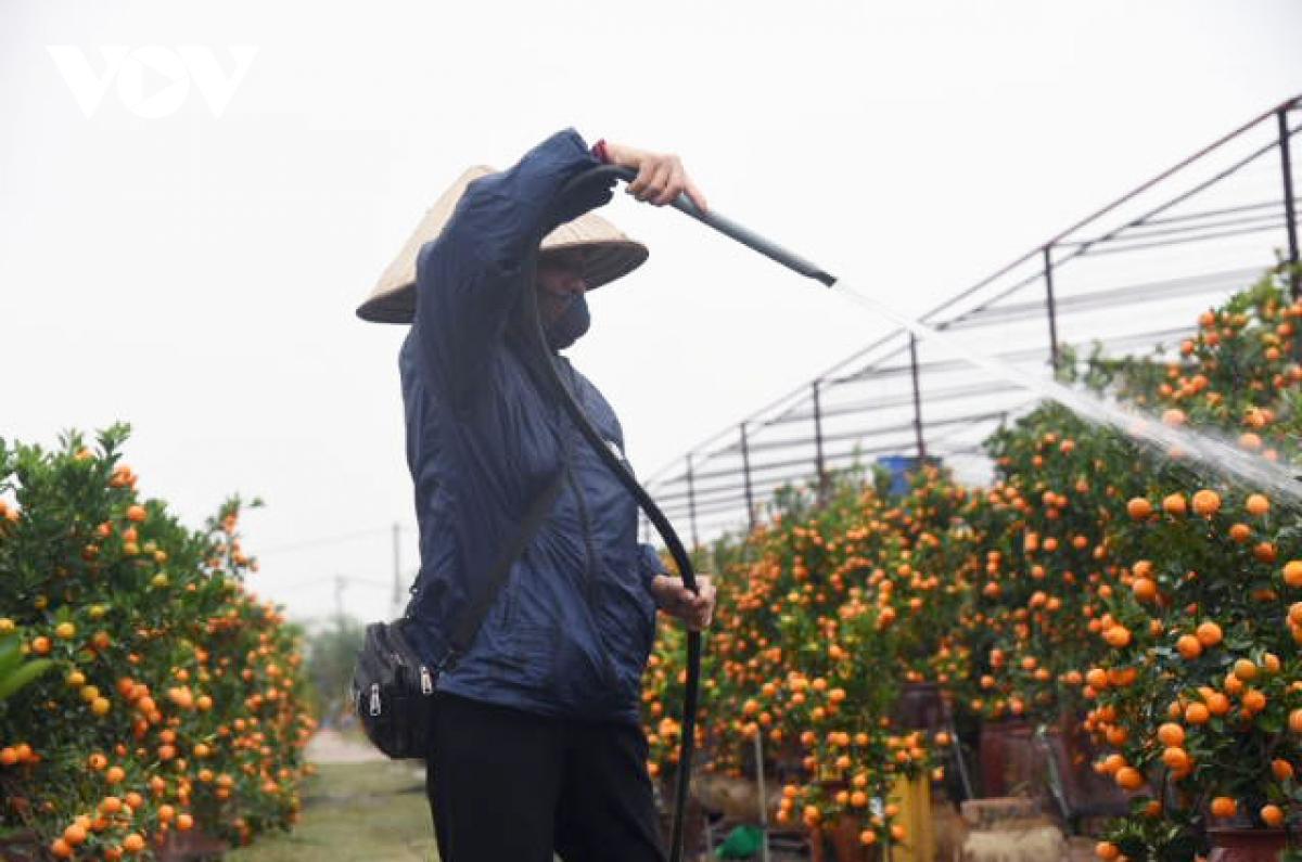 Giá quất cảnh giảm một nửa, lao động thời vụ các nhà vườn