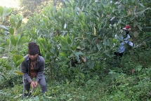 """Điện Biên giữ """"rừng vàng"""" theo lời dạy của Chủ tịch Hồ Chí Minh"""