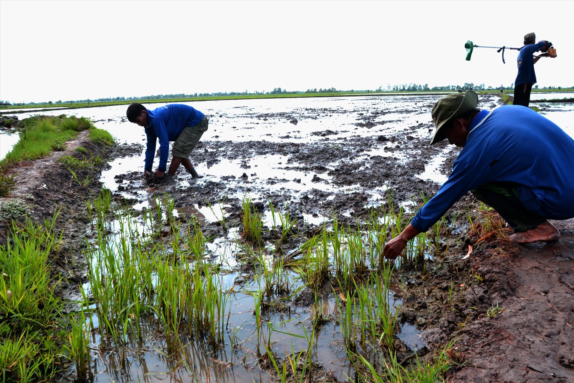 Lúa đầu nguồn sông Cửu Long  chết vì nhiễm mặn