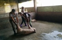Dịch tả lợn châu Phi diễn biến phức tạp ở Phú Thọ