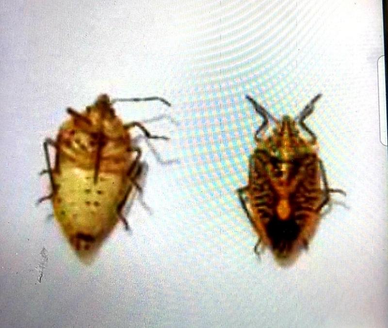 Cả gia đình bị ngộ độc do ăn bọ xít