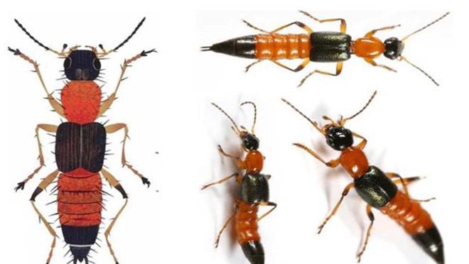 Bác sĩ ơi: Bị kiến ba khoang cắn, phải xử trí thế nào?