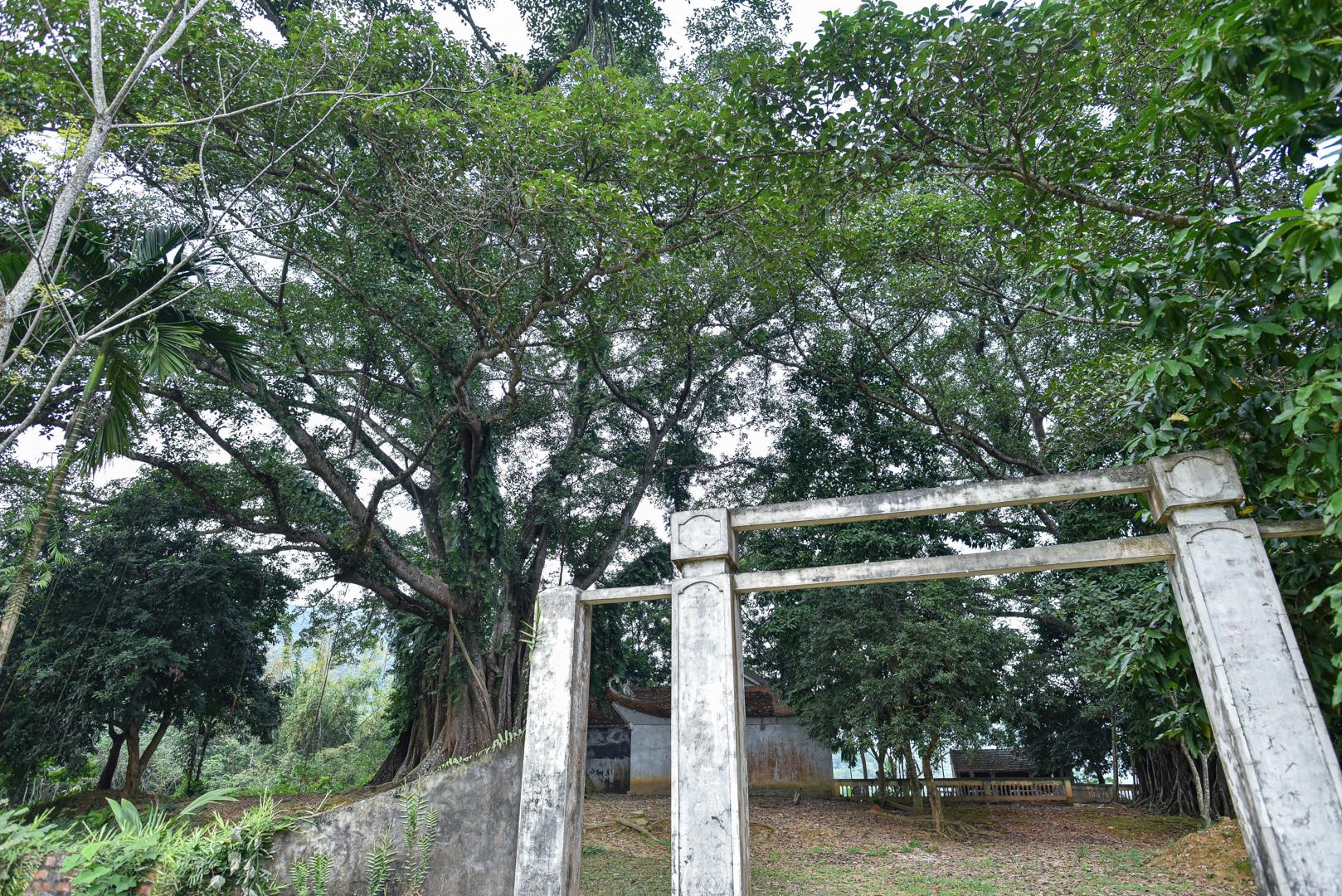 Báu vật đa cổ nghìn năm tuổi độc nhất vô nhị bên ngôi đền thiêng ở Hà Nội - 7