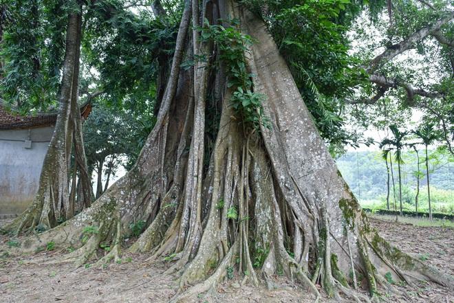 Báu vật đa cổ nghìn năm tuổi độc nhất vô nhị bên ngôi đền thiêng ở Hà Nội - 8