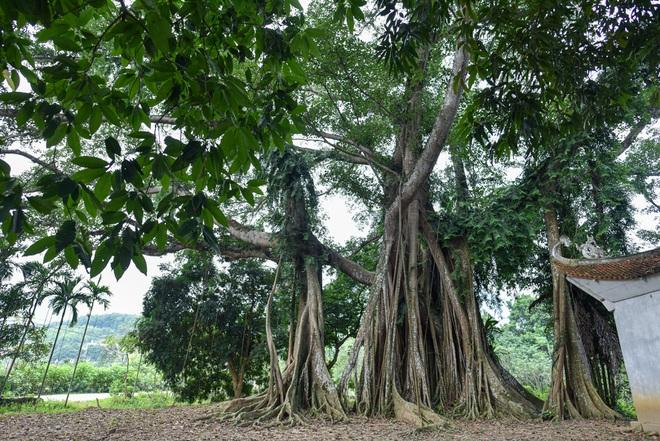 Báu vật đa cổ nghìn năm tuổi độc nhất vô nhị bên ngôi đền thiêng ở Hà Nội - 10