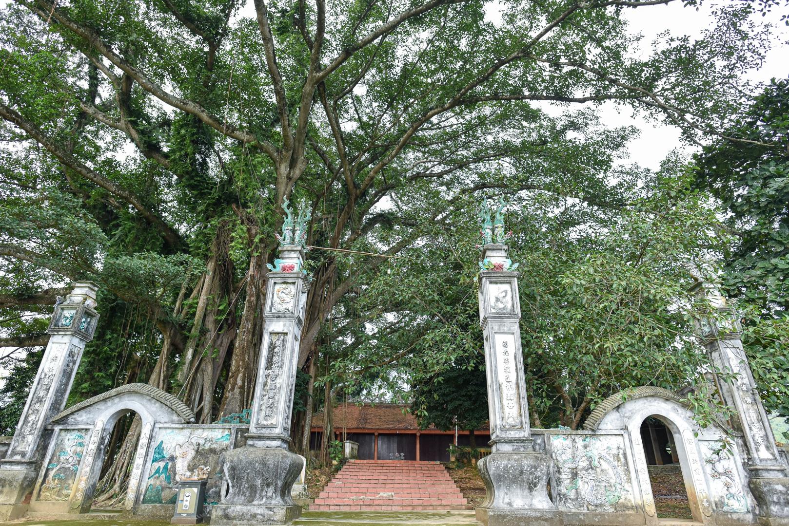 Báu vật đa cổ nghìn năm tuổi độc nhất vô nhị bên ngôi đền thiêng ở Hà Nội - 1