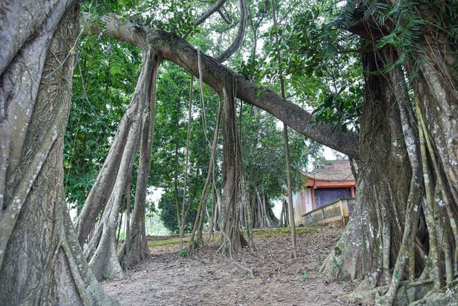 Báu vật đa cổ nghìn năm tuổi độc nhất vô nhị bên ngôi đền thiêng ở Hà Nội - 11