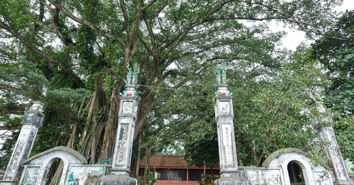 Báu vật đa cổ nghìn năm tuổi độc nhất vô nhị bên ngôi đền thiêng ở Hà Nội