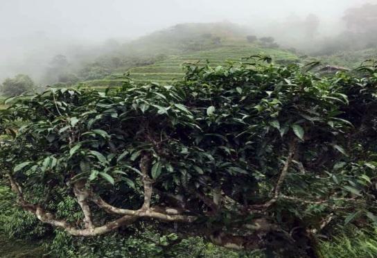 Trà xanh đi vào y thực Việt thế nào?
