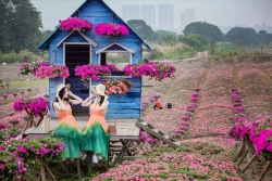 Đồi hoa ngọc thảo, dạ yến thảo đẹp như tranh tại Hà Nội bung nở trước tết
